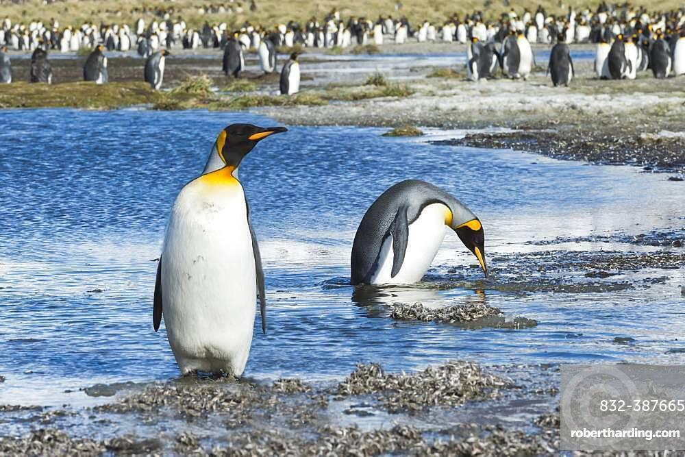 Two King Penguins (Aptenodytes patagonicus) crossing a stream, Salisbury Plains, South Georgia, Antarctic