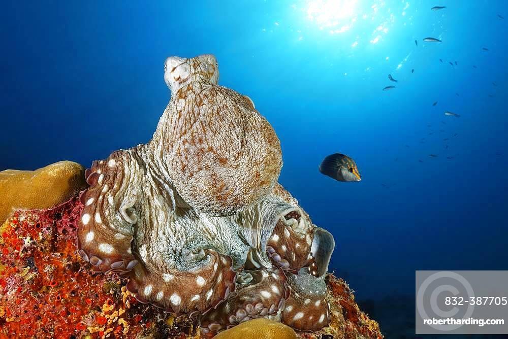 Common Octopus (Octopus vulgaris), sitting on hard coral, back light, sun, Indian Ocean, Maldives, Asia