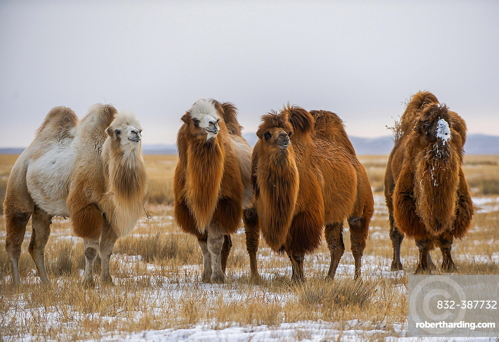 Four Bactrian camels (Camelus bactrianus) in the steppe in winter, Bayankhongor Province, Mongolia, Asia