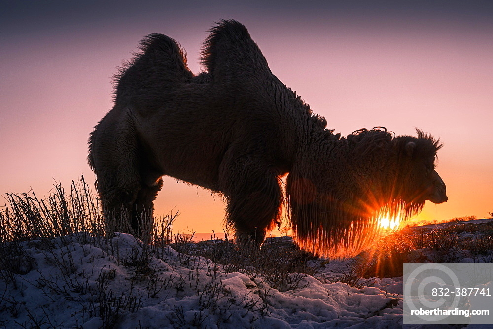 Male Bactrian camel (Camelus bactrianus) in the rising sun, Omnogobi Province, Mongolia, Asia