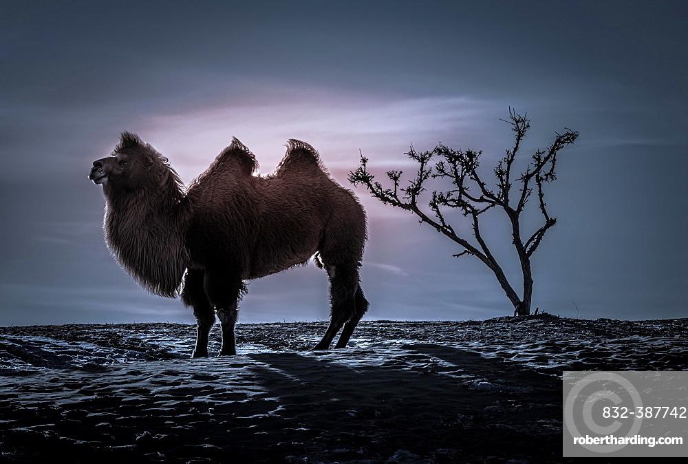 Bactrian camel (Camelus bactrianus), silhouette, winter night in the Gobi desert, Bulgan-Aimag, Mongolia, Asia