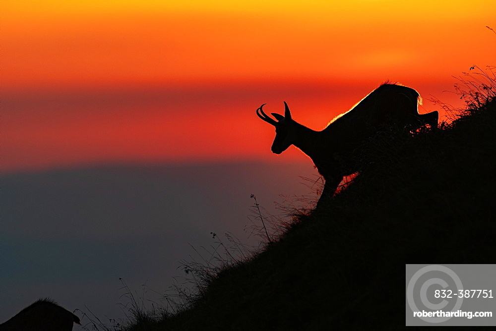 Chamois (Rupicapra rupicapra) running on a mountain slope against the light, sunset, Vosges, France, Europe