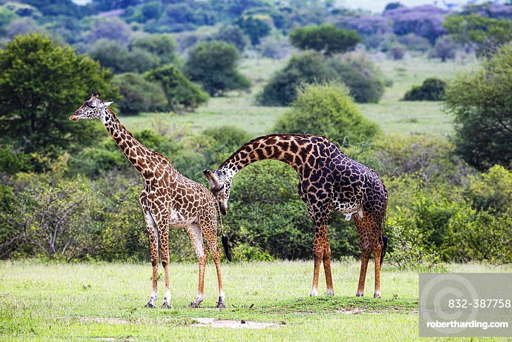 Masai giraffes (Giraffa camelopardalis tippelskirchi), animal pair, mating behaviour, Serengeti National Park, Tanzania, Africa