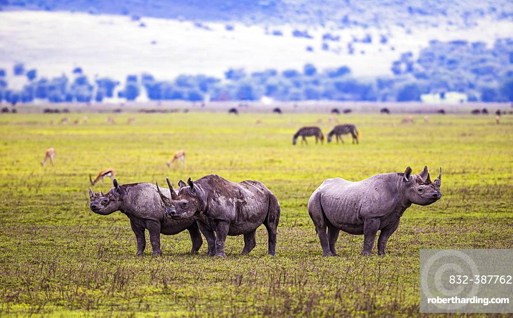 Black rhinoceroses (Diceros bicornis), Ngorongoro Crater, Tanzania, Africa
