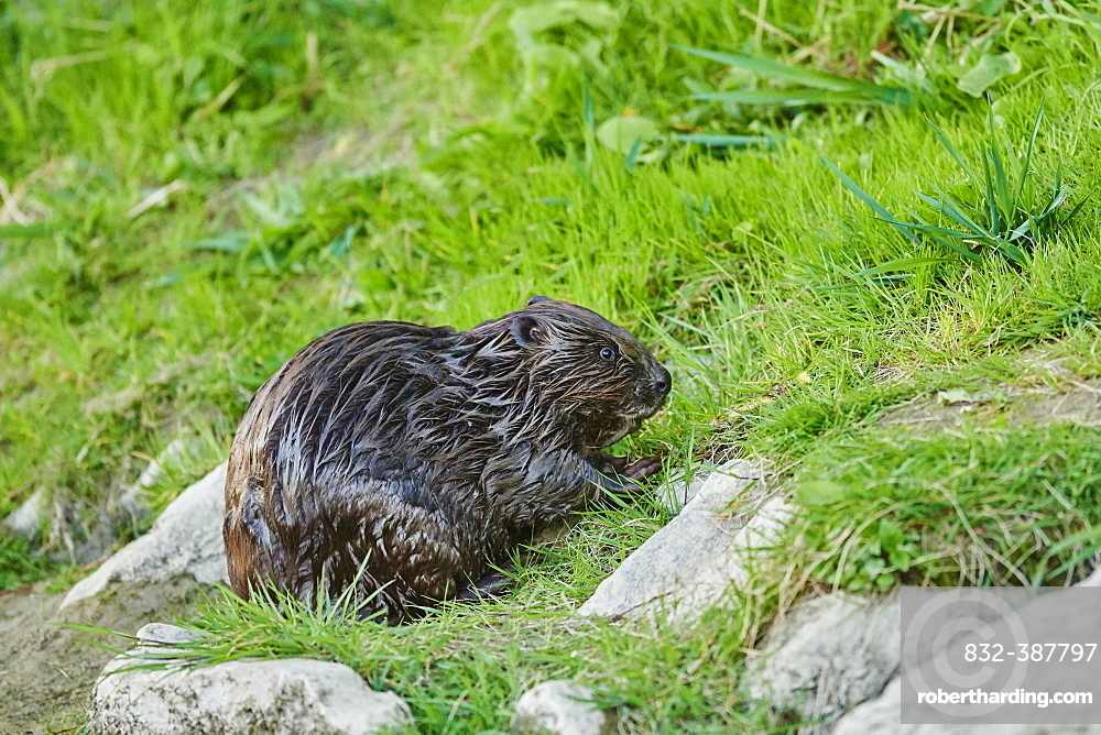 European beaver (Castor fiber) wildlife at the shore of Donau River, Regensburg, Upper Palatinate, Bavaria, Germany, Europe