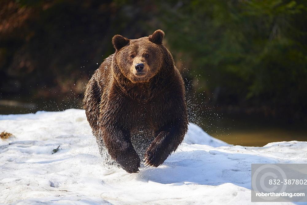 Brown bear (Ursus arctos) in snow, Bavarian Forest National Park, Bavaria, Germany, Europe