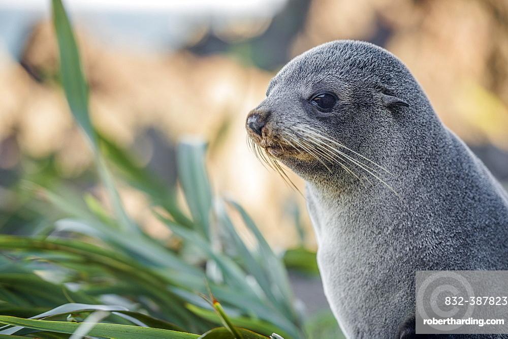 Young animal, New Zealand fur seal (Arctocephalus forsteri), portrait, Cape Palliser, Wellington region, North Island, New Zealand, Oceania