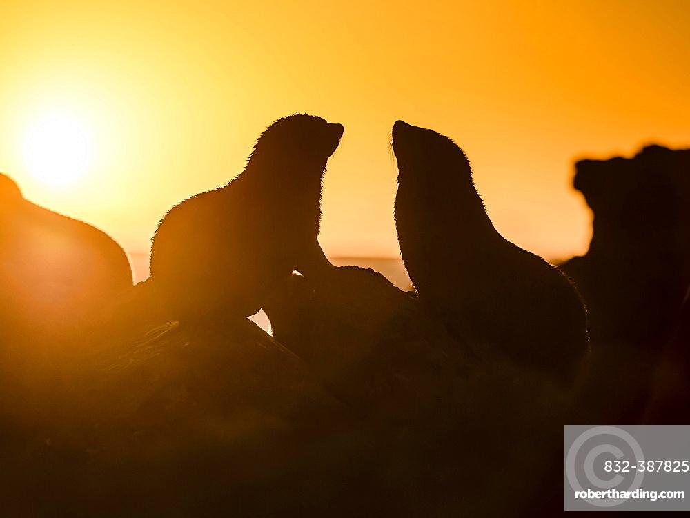 Silhouette of two New Zealand fur seals in backlight at sunset, ear seals, dwarf fur seals, fur seals (Arctocephalus pusillus), Cape Palliser, Wellington region, New Zealand, Oceania