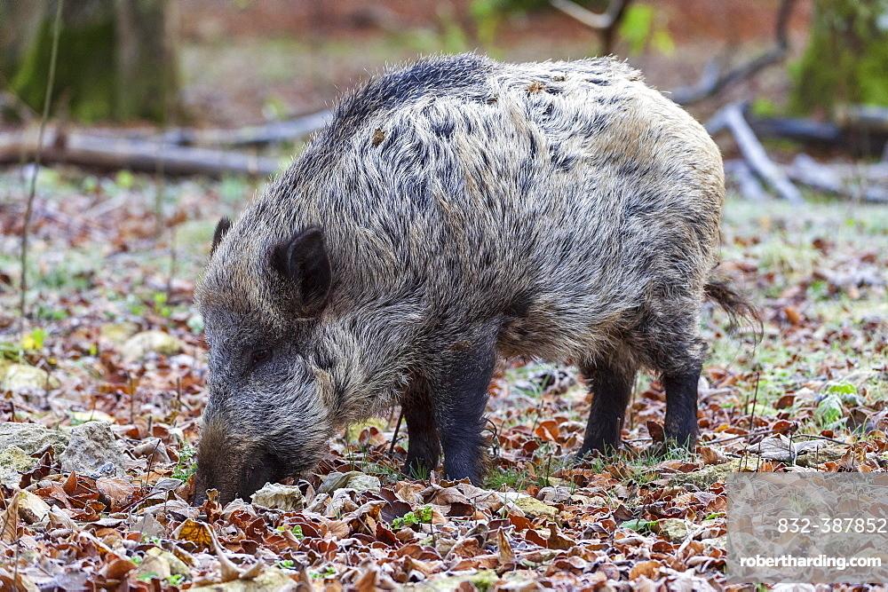 Wild boar (Sus scrofa) foraging between autumn leaves, Baden-Wuerttemberg, Germany, Europe