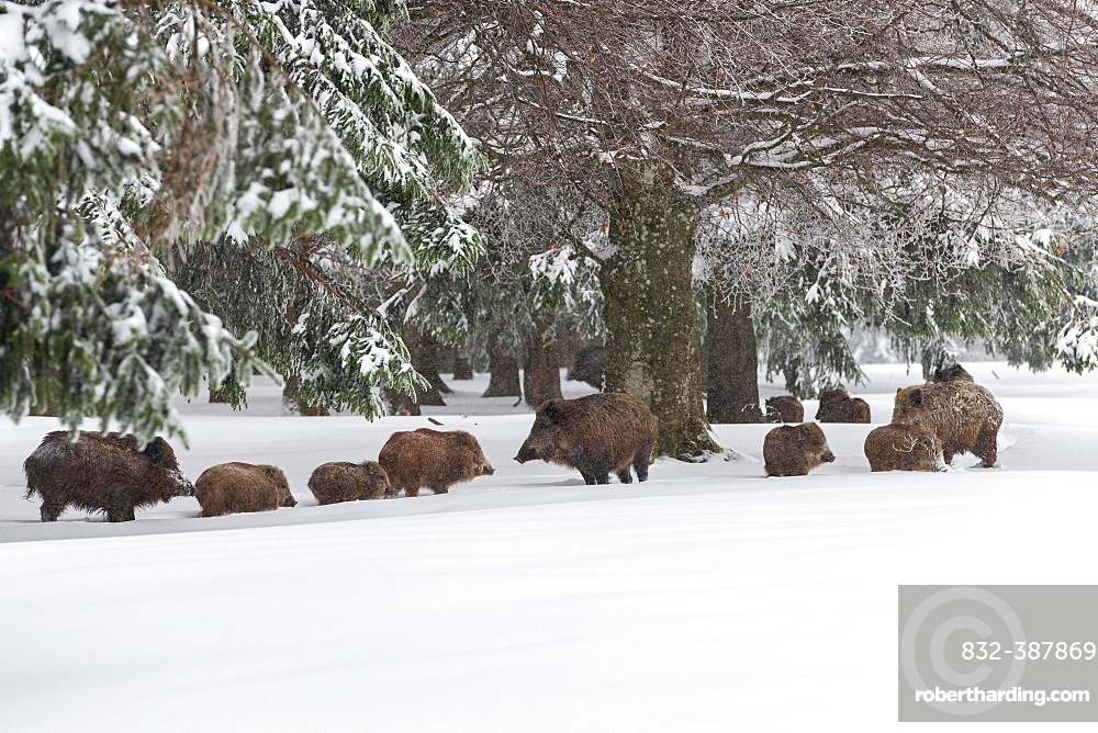 Rotting with Wild boarsn (Sus scrofa) in snow at the edge of a forest, Baden-Wuerttemberg, Germany, Europe