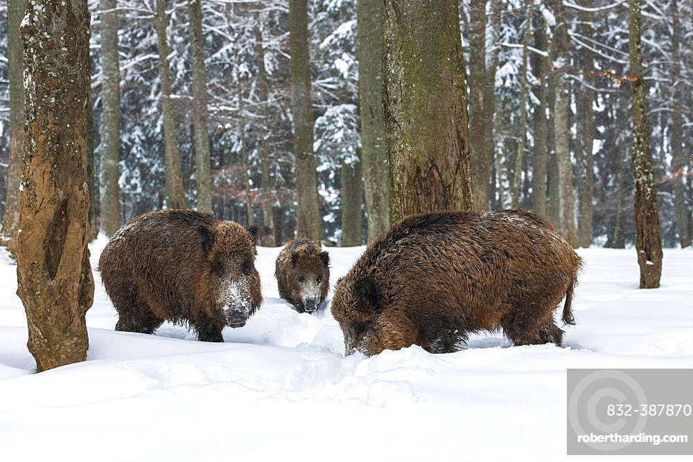 Wild boars (Sus scrofa) in snow in the forest, Baden-Wuerttemberg, Germany, Europe