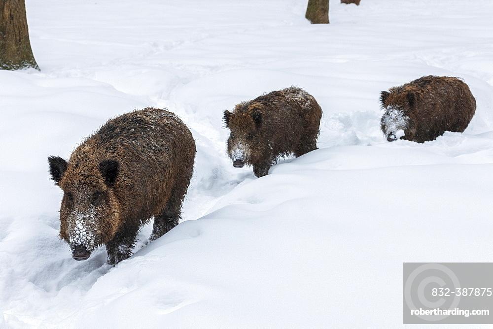 Wild boars (Sus scrofa) in snow, Baden-Wuerttemberg, Germany, Europe