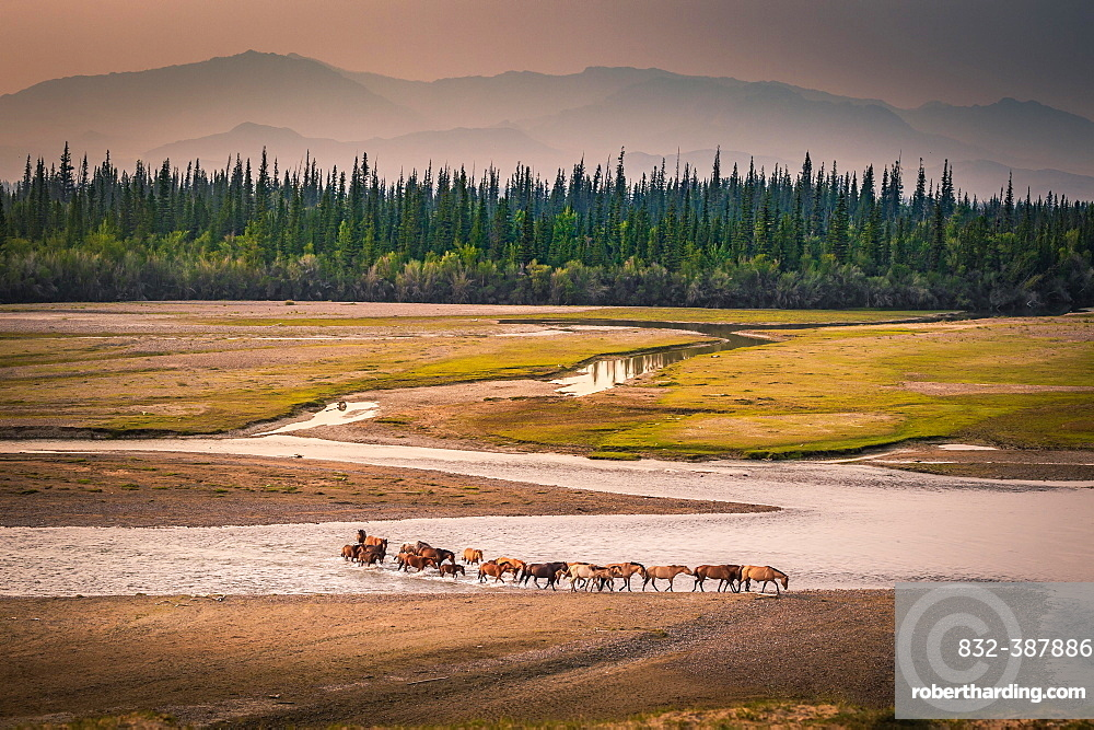 Herd of horses crosses the river Tes, behind Siberian firs (Abies sibirica) in front of mountain range, Uvs province, Mongolia, Asia