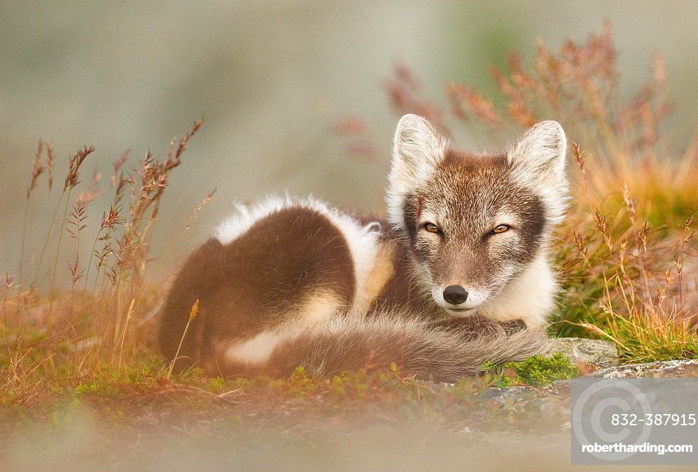 Arctic fox (alopex lagopus) dormant, coiled, Dovrefjell, Norway, Europe