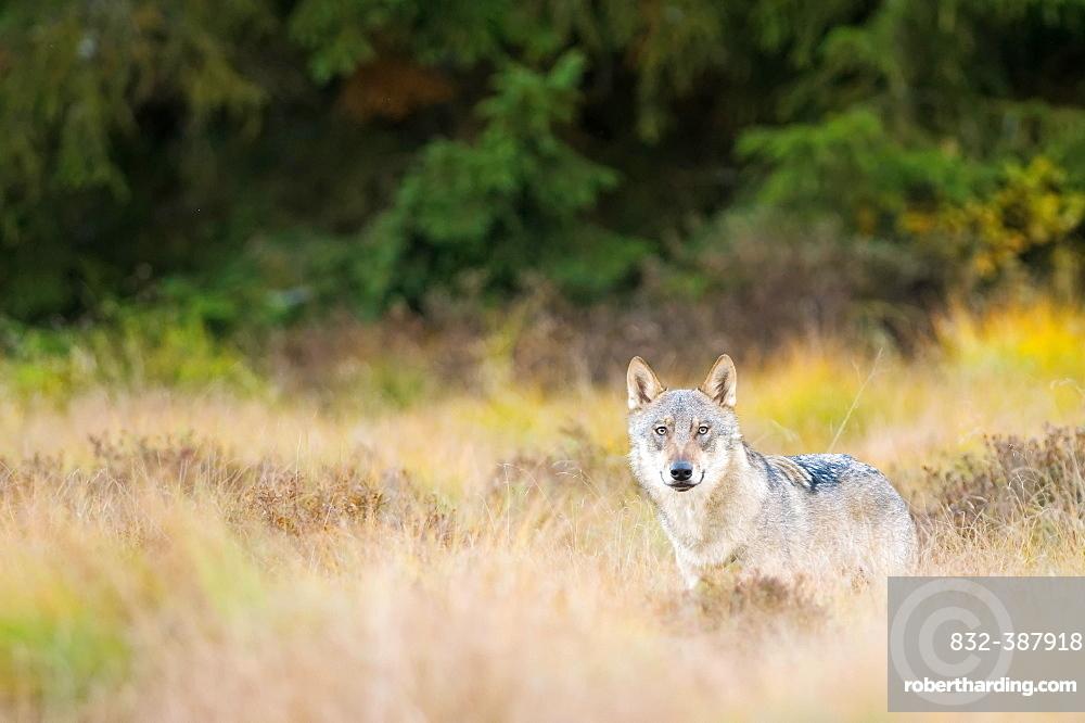 Wolf (canus lupus) in clearing, captive, Bohemian Forest, Czech Republic, Europe