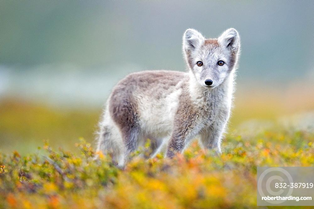 Arctic fox (alopex lagopus), autumn, Dovrefjell, Norway, Europe