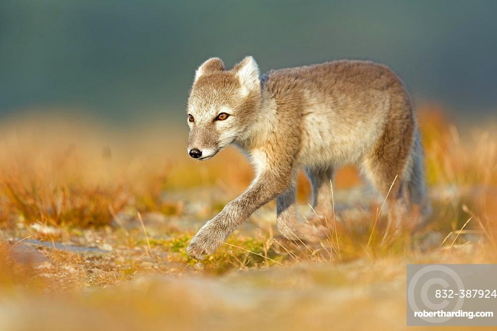 Arctic fox (alopex lagopus) on the stalk, Dovrefjell, Norway, Europe