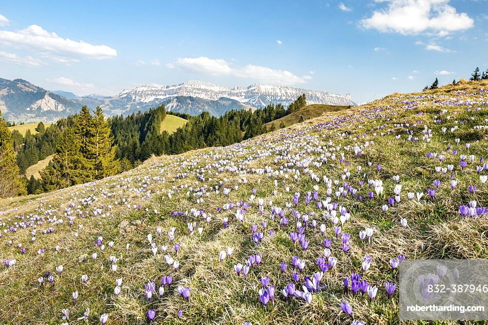 Meadow with flowering purple Crocus (Crocus), mountain landscape, Raemisgummen, Emmental, Canton Bern, Switzerland, Europe