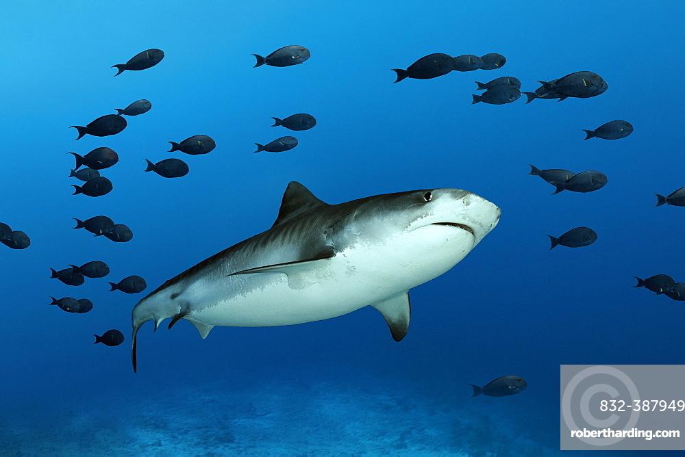 Tiger Shark (Galeocerdo cuvier) with shoal of fish Surgeonfishes (Acanthuridae), Indian Ocean, Fuvahmulah Island, Gnaviyani Atoll, Maldives, Asia