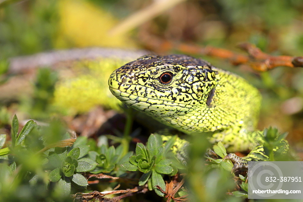 Sand lizard (Lacerta agilis), male, portrait, North Rhine-Westphalia, Germany, Europe