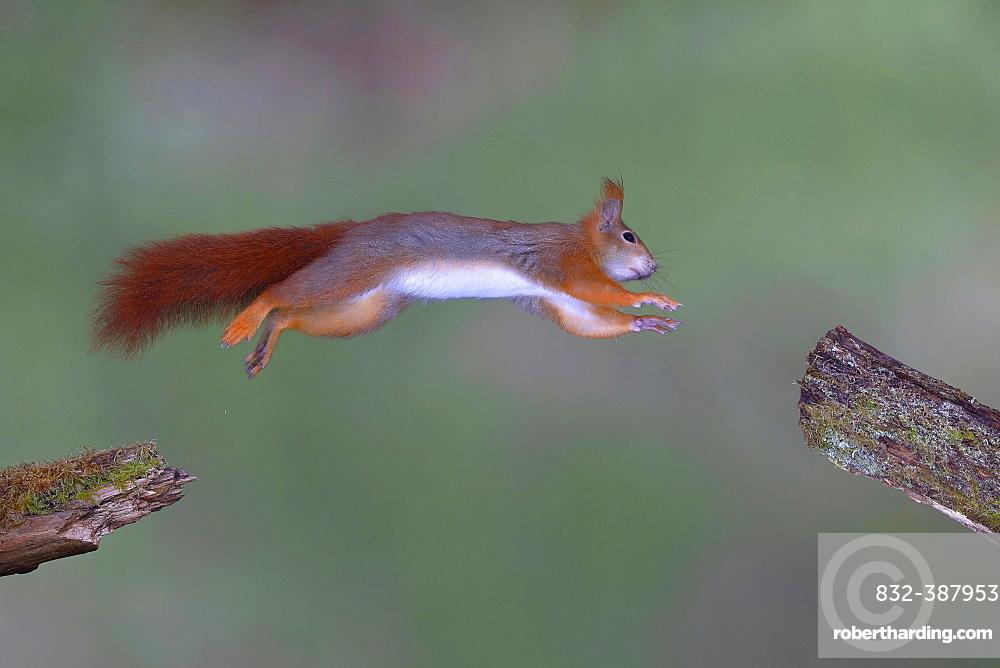 Eurasian red squirrel (Sciurus vulgaris) jumps from branch to branch, North Rhine-Westphalia, Germany, Europe