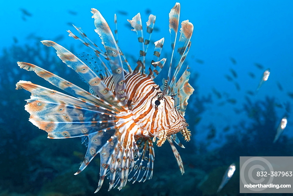 Red Lionfish (Pterois volitans) hunting Glassy Sweepers (Pempheridae), Great Barrier Reef, Coral Sea, Pacific Ocean, Australia, Oceania