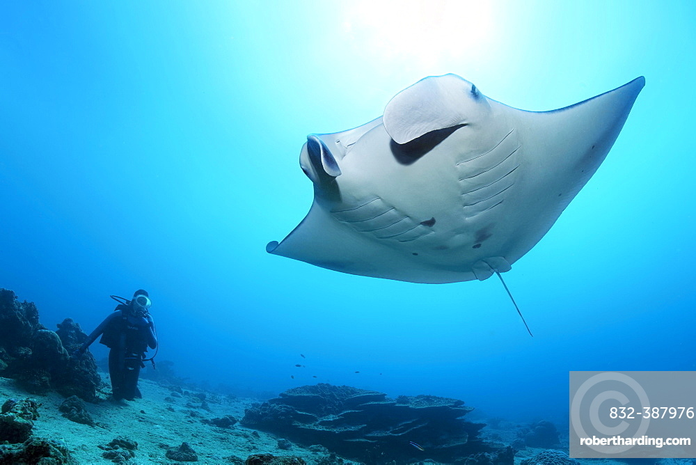 Diver observes reef manta ray (Mobula alfredi), Great Barrier Reef, Unesco World Heritage, Coral Sea, Pacific, Australia, Oceania