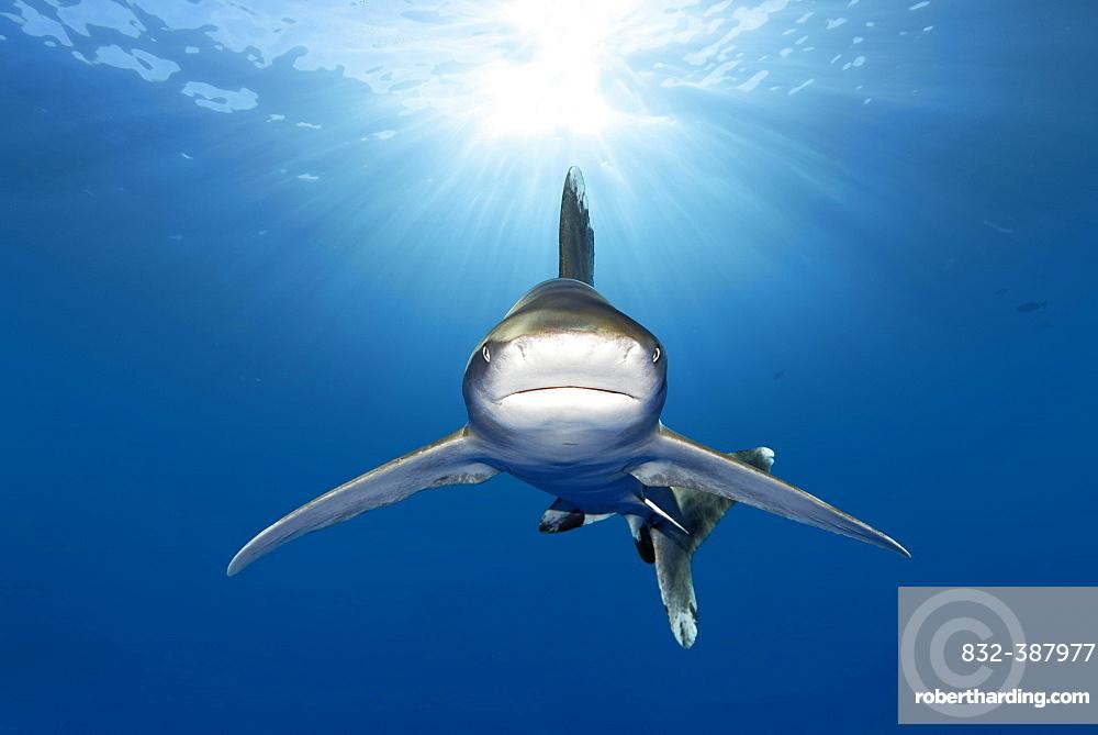 Oceanic whitetip shark (Carcharhinus longimanus) from front, back light, Great Barrier Reef, Unesco World Heritage, Coral Sea, Pacific, Australia, Oceania