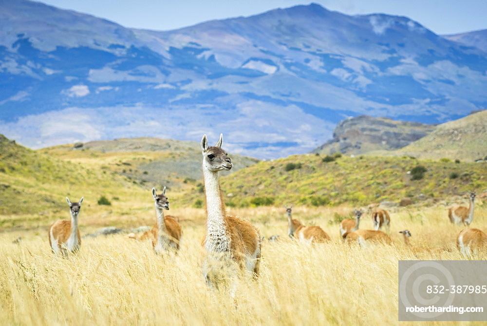 Guanacos (Llama guanicoe), herd in high grass, mountainous, Torres del Paine National Park, Region de Magallanes y de la Antartica Chilena, Patagonia, Chile, South America