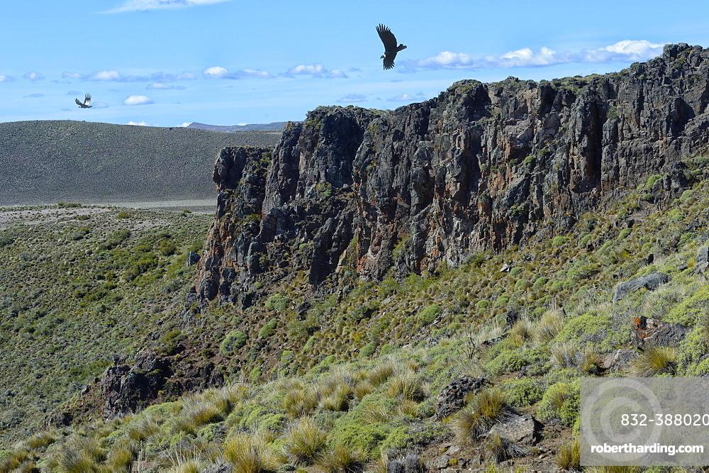 Andean Condor (Vultur gryphus) flying over high cliffs, Coyhaique Alto, Aysen Region, Patagonia, Chile, South America