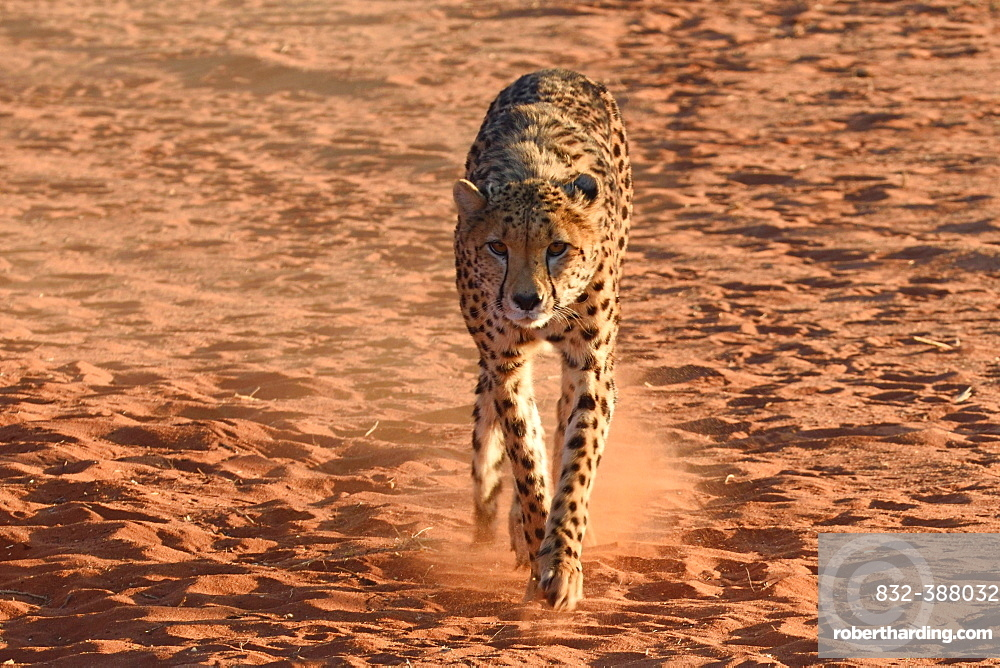 Cheetah (Acinonyx jubatus), captive, Mariental, southern Kalahari, Namibia, Africa
