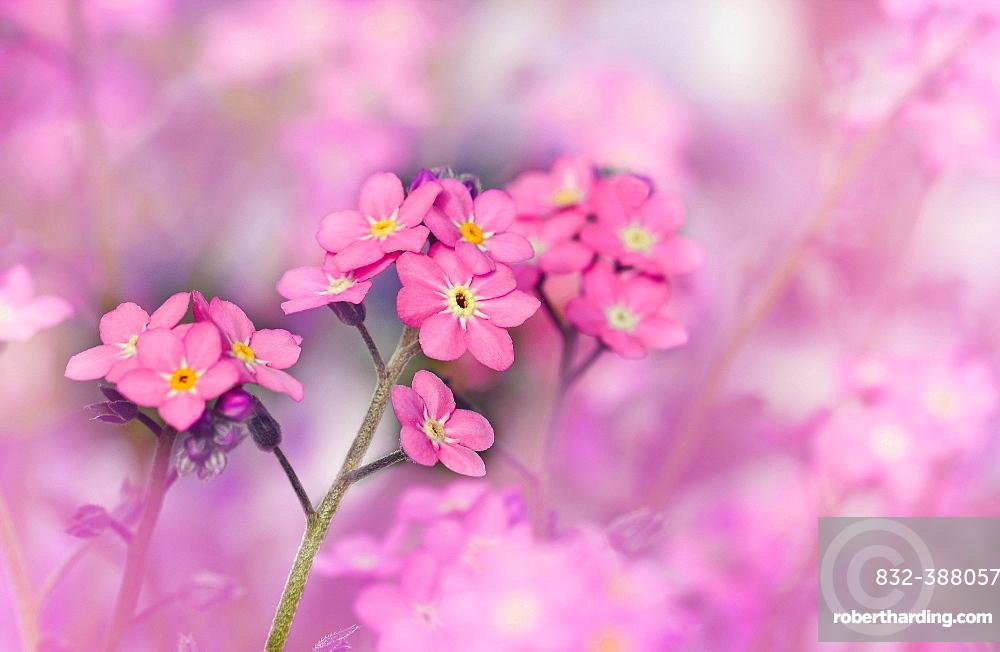 Pink Forget-me-not (Myosotis), Germany, Europe