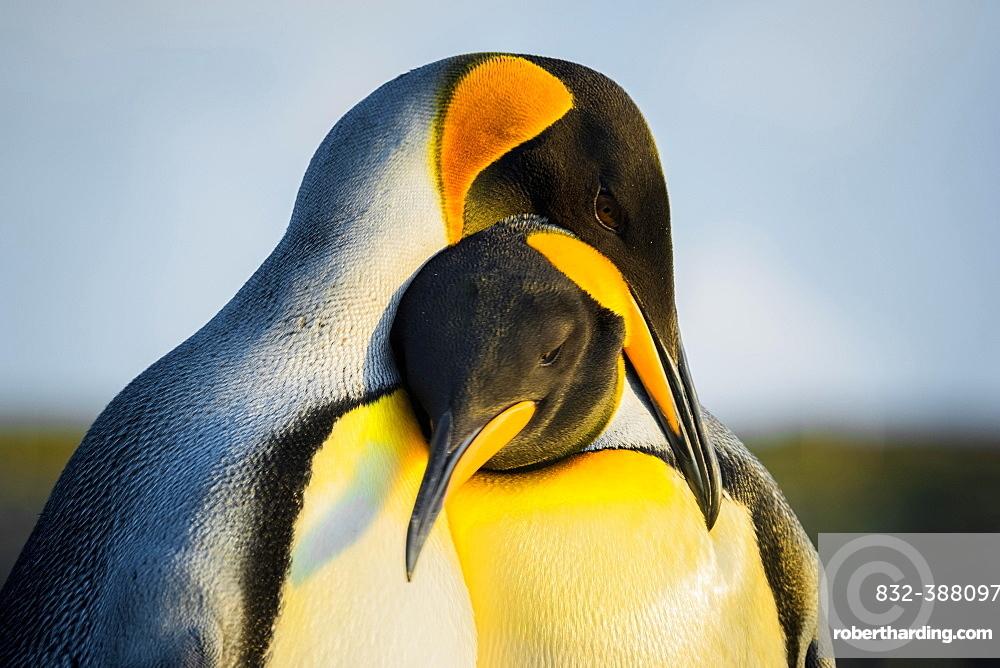 King penguins (Aptenodytes patagonicus), pair of animals, Volunteer Point, Falkland Islands, Great Britain, South America
