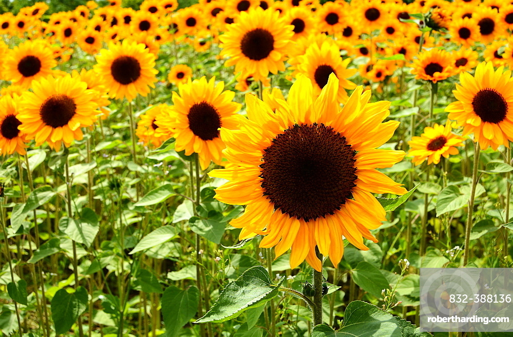 Flowering Sunflowers (Helianthus annuus) in field, Schlesiwg-Holstein, Germany, Europe
