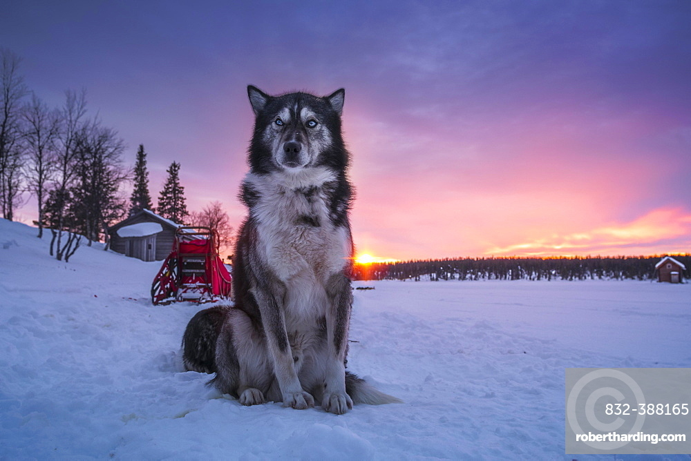 Husky sitting upright in the warm light of the rising sun in front of a dog sled team, Skaulo, Norrbottens laen, Sweden, Europe