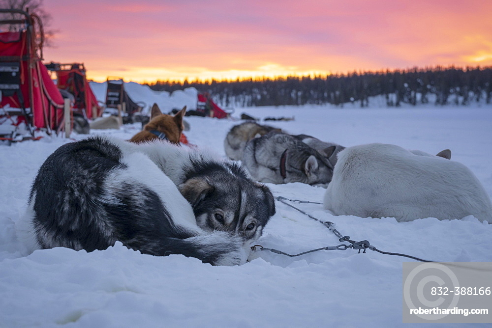 Dog sled team rests in the snow at dawn, Skaulo, Norrbottens laen, Sweden, Europe