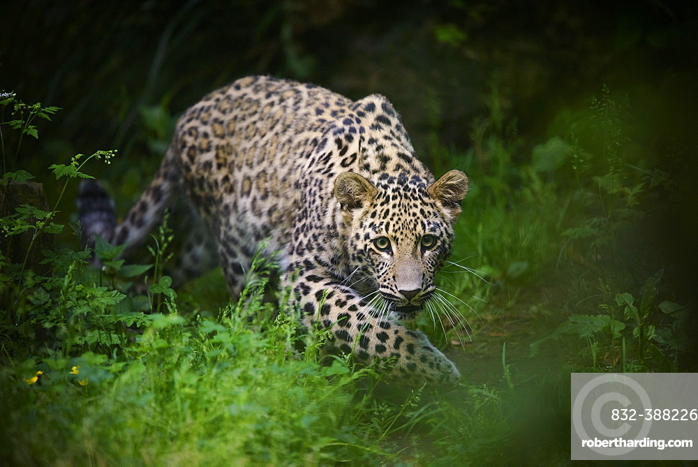 Leopard (Panthera pardus), young animal creeps attentively through the grass, captive, occurs in Africa and Asia