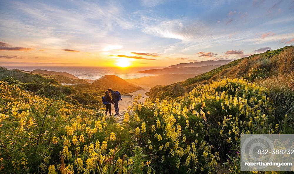Pair at sunset, yellow lupins (Lupinus luteus) on sand dunes, view of coast, Sandfly Bay, Dunedin, Otago, Otago Peninsula, South Island, New Zealand, Oceania