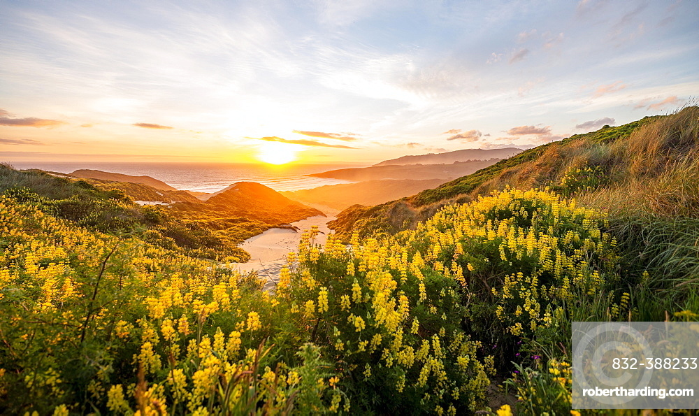 Sunset, Yellow Lupines (Lupinus luteus) on sand dunes, view of coast, Sandfly Bay, Dunedin, Otago Region, Otago Peninsula, Southland, New Zealand, Oceania