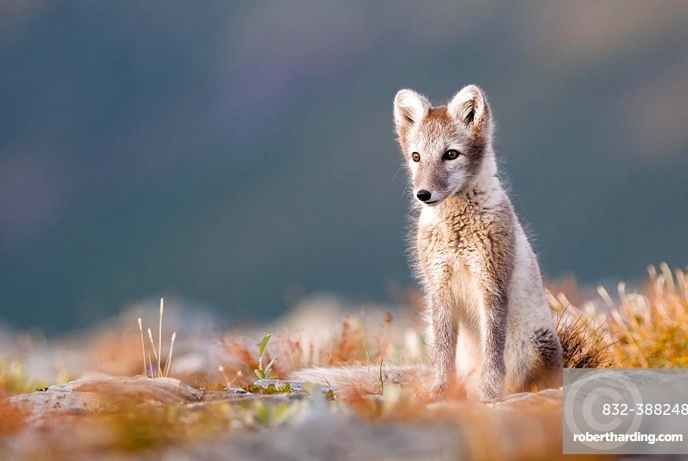 Arctic fox (alopex lagopus), alert, sitting, Dovrefjell National Park, Norway, Europe