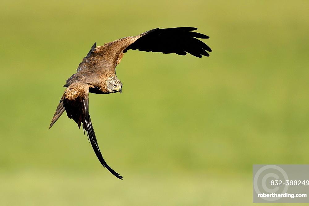 Black kite (Milvus migrans), in flight over a meadow, Canton Zug, Switzerland, Europe