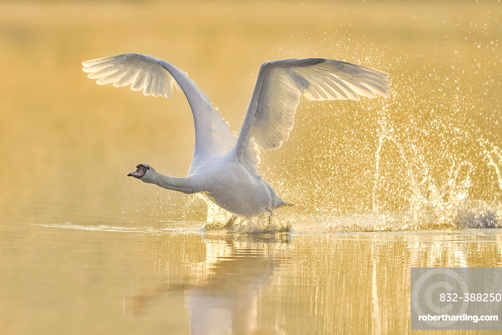 Mute swan (Cygnus olor), starts from the water in the morning light, Lake Zug, Switzerland, Europe