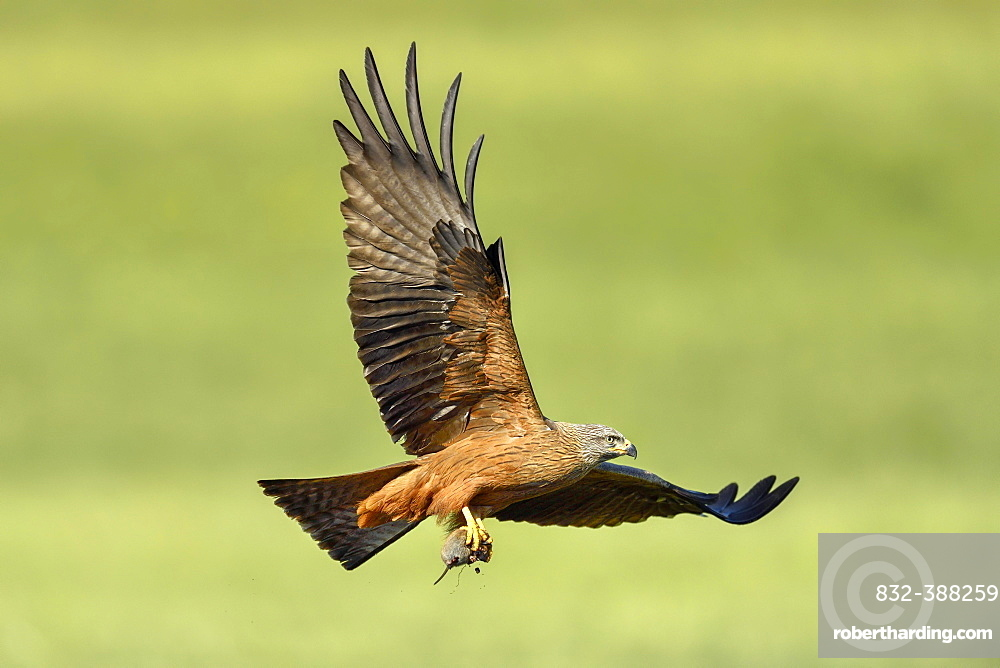 Black kite (Milvus migrans), with mouse in the catches, flying over a meadow, Canton Zug, Switzerland, Europe