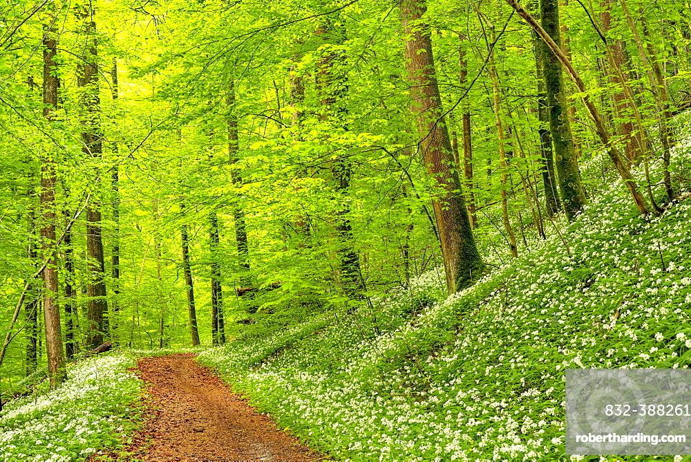 Hiking trail through Common beeches forest (Fagus sylvatica), with flowering Ramsons (Allium ursinum), Sihlwald Wilderness Park, Canton Zurich, Switzerland, Europe