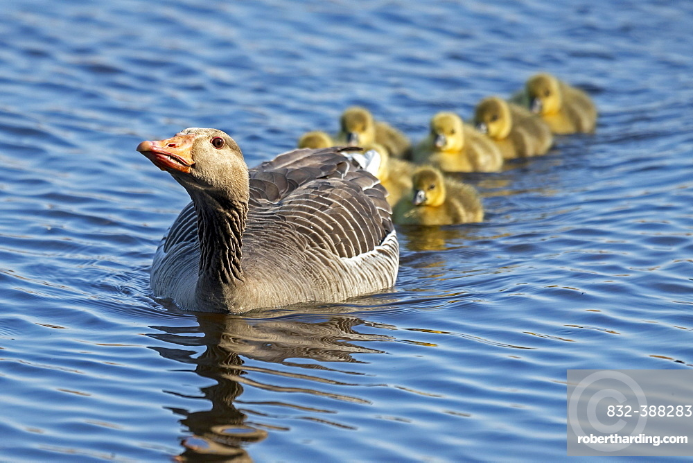 Greylag goose (Anser anser), adult bird swimming in water with many chicks, threatening, Germany, Europe