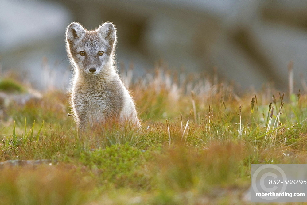 Arctic fox (alopex lagopus), young animal sitting in meadow, Dovrefjell National Park, Norway, Europe