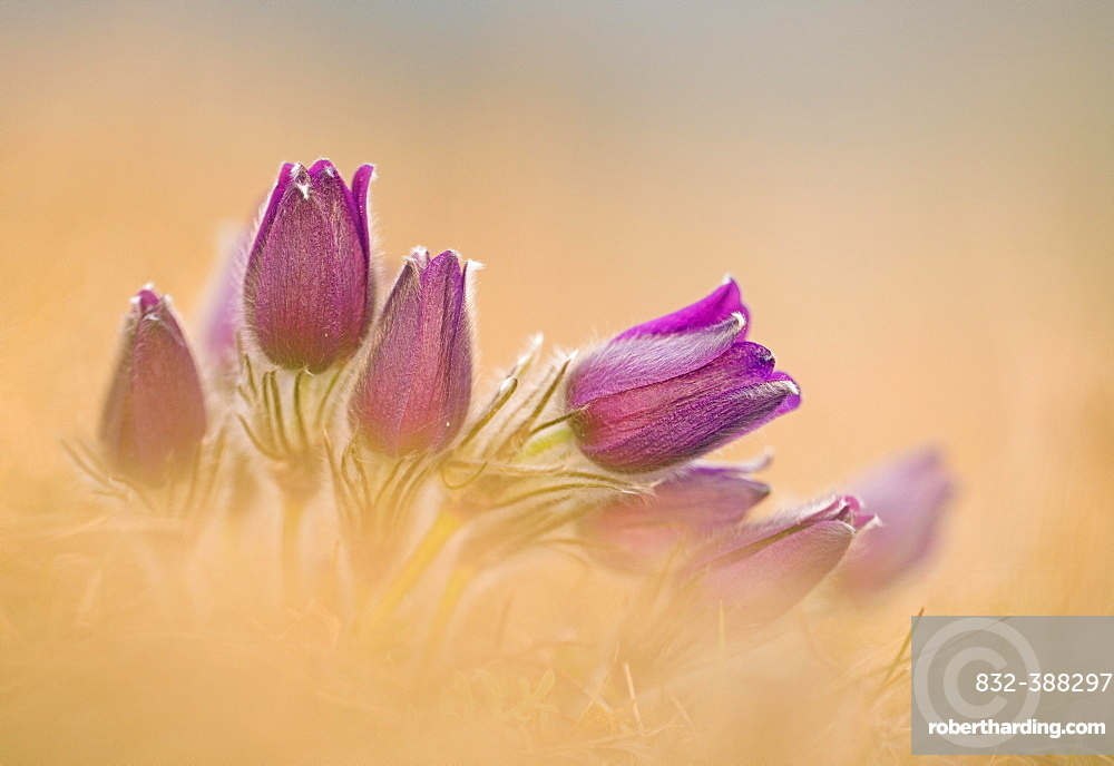 Pasque flowers (Pulsatilla vulgaris) Bavaria, Germany, Europe