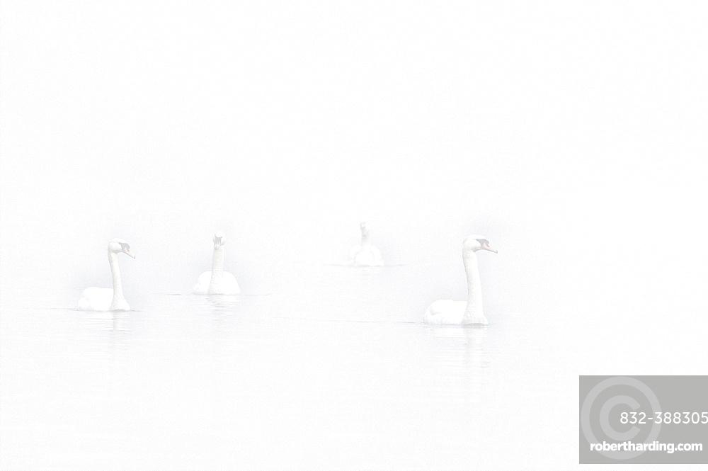 Floating Mute swans (Cygnus olor) in fog, High Key, Lower Rhine, North Rhine-Westphalia, Germany, Europe