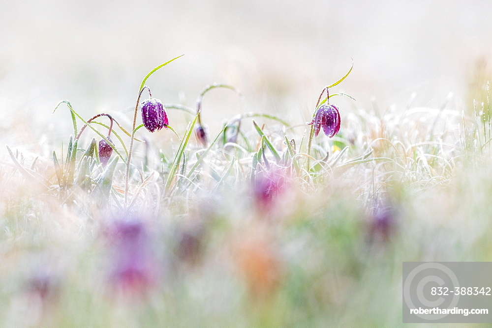 Red Snake's Head Fritillary (Fritillaria meleagris) in meadow with frost, Hesse, Germany, Europe