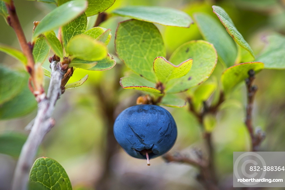 Ripe blueberry, blueberry (Vaccinium myrtillus), Southern Iceland, Iceland, Europe